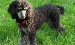 Miniature poodle hunting dog skills