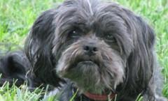 affenpinscher as a hunting dog