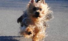 Australian Terrier dog hunting breed