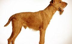 Irish Terrier, Hunting dog skills