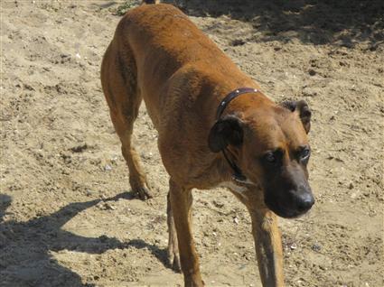 mixed breed hunting dog