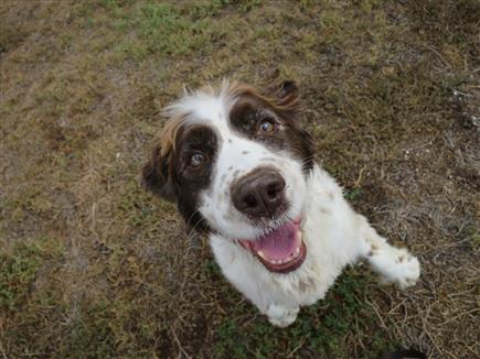 wonderful springer spaniel dog