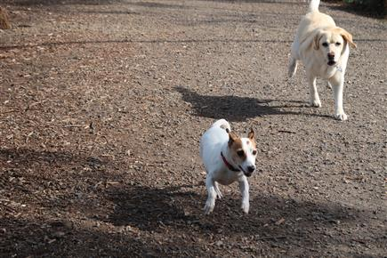 jack russell on the loose
