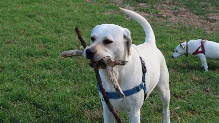 labrador with stick